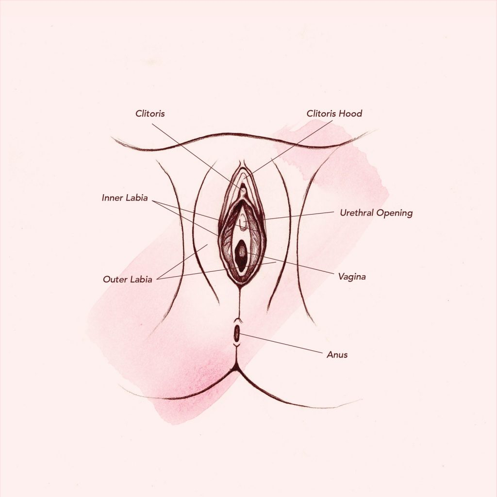 A drawing of the female vagina.